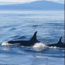 Southern Resident Orca - Puget Sound Partnership